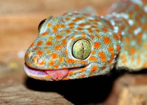 18 Cambodia_Tokay_Gecko
